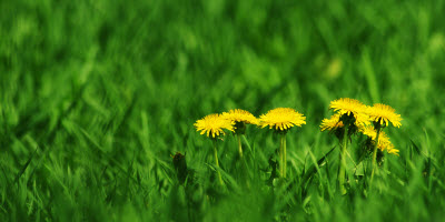 green-field-and-dandelions-with-unusual-depth-of-field-and-plenty-of-space-_My02YQu_